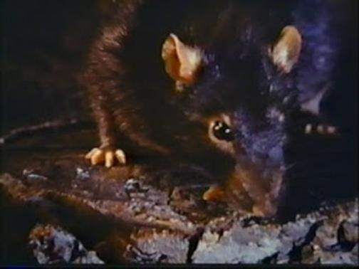 O rato roeu a roupa do rei de Roma