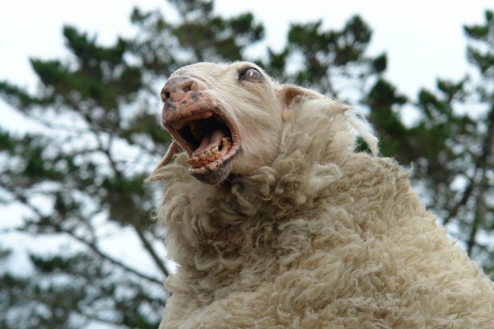 black-sheep-2.jpg